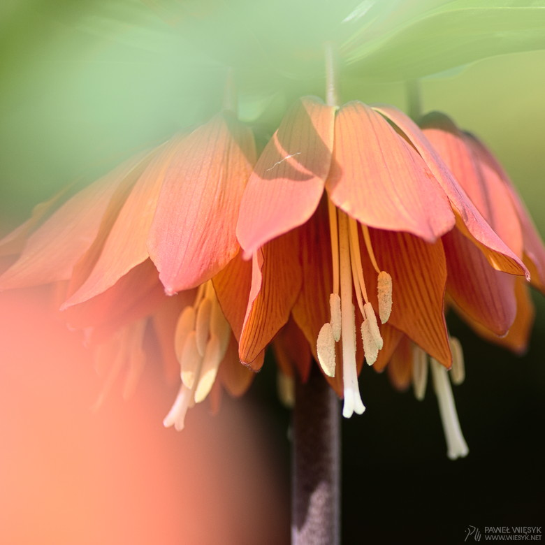 Paweł Więsyk - Photographs: Fritillaria Imperialis (Crown Imperial) IV