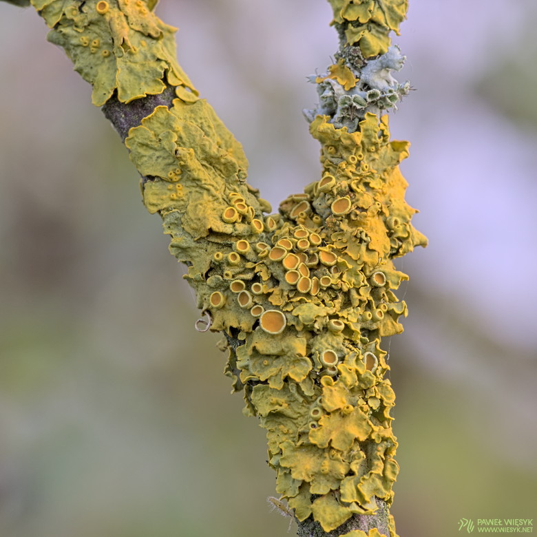 Paweł Więsyk - Photographs: Physcia and Xanthoria III