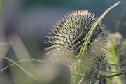 Cirsium vulgare (Spear thistle, Bull thistle, Common thistle)