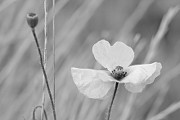 Black-And-White Papaver rhoeas