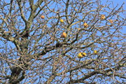 Pyrus L. (Pear Tree) II