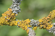 Physcia and Xanthoria