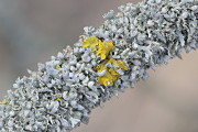 Physcia and Xanthoria II