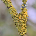 Physcia and Xanthoria III