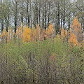 Rainy Autumn: the Golden Birches